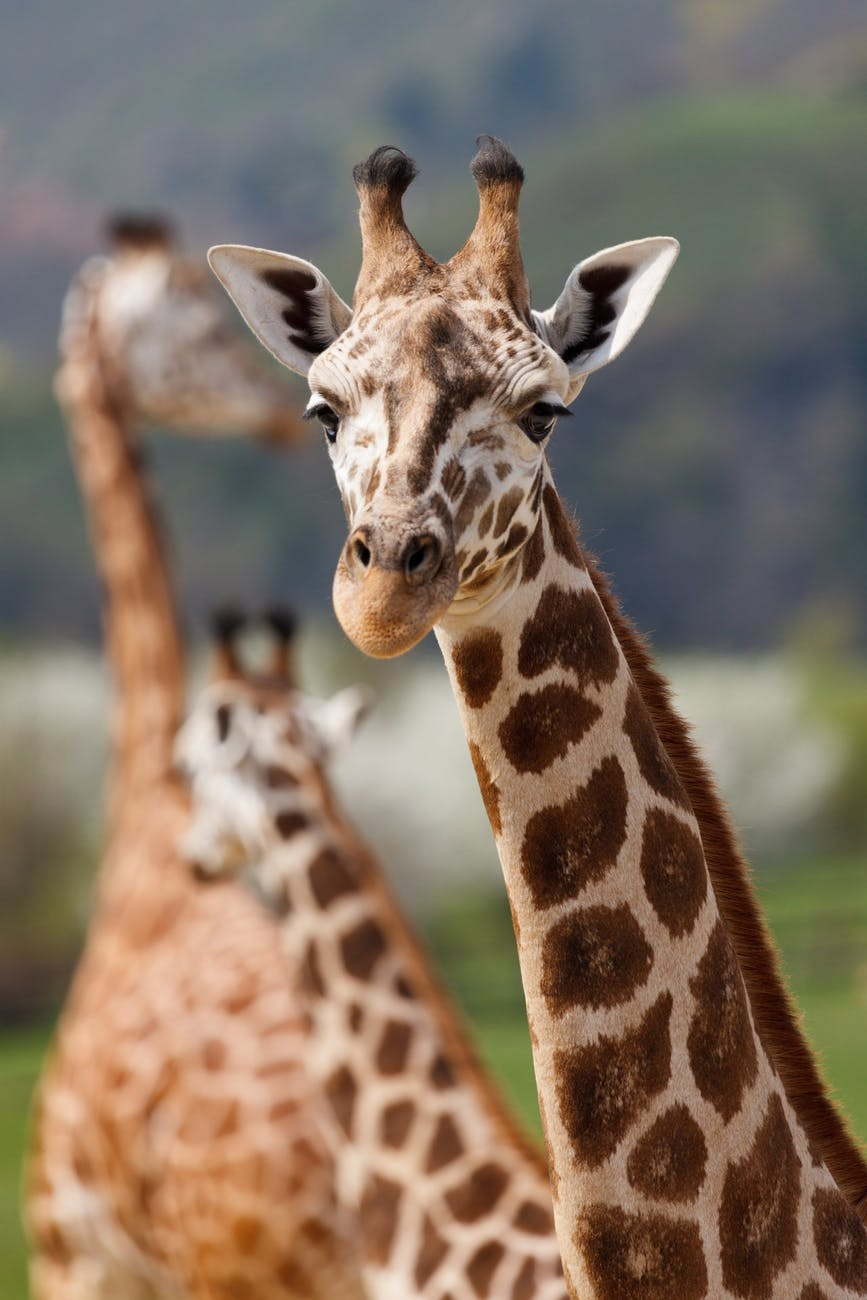 close up photo of giraffe during day time