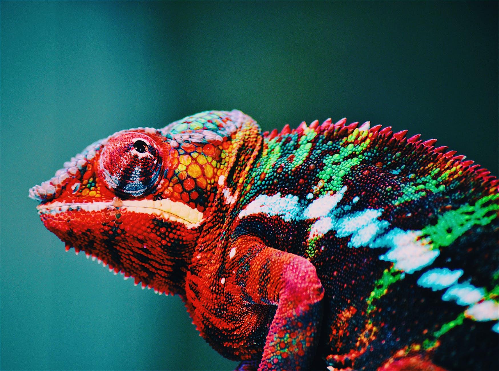 animal blur chameleon close up