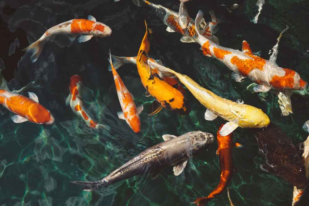orange and white koi fish near yellow koi fish