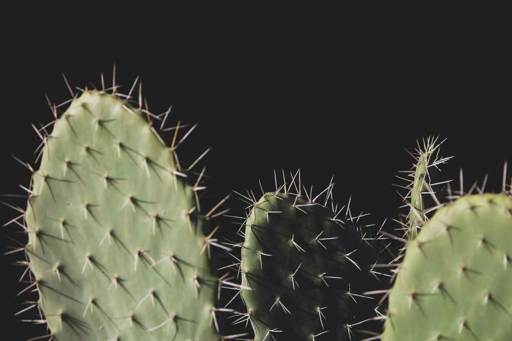 close up photo of three green cactus plants