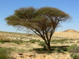 acacia full view